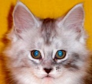 Cherokee West Maine Coons