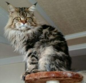 Gold Rush Maine Coons