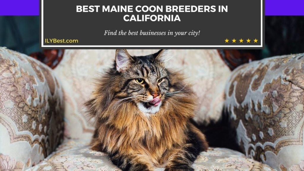 Maine Coon Breeders in California (2)