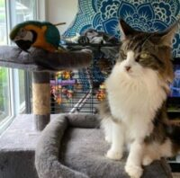 Maine Coon Breeders in California