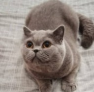 Chatterie Cattery – Blue Peaches