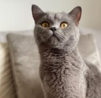 Conclusion For Are British Shorthair Cats Hypoallergenic