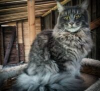 Conclusion For The Best Maine Coon Breeders in Arizona