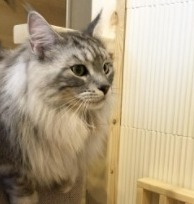 Conclusion For The Best Maine Coon Breeders in Texas