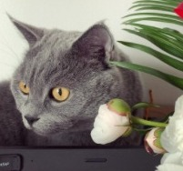Does a British Shorthair Cat Have an Intolerance