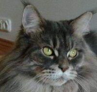 DreamCoon Maine Coon Cattery