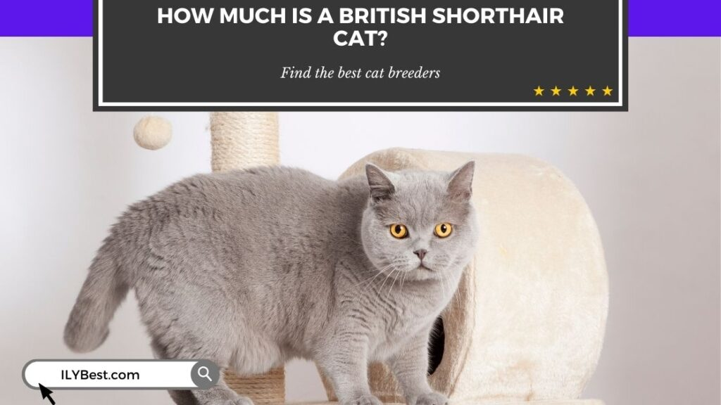 How Much is a British Shorthair cat
