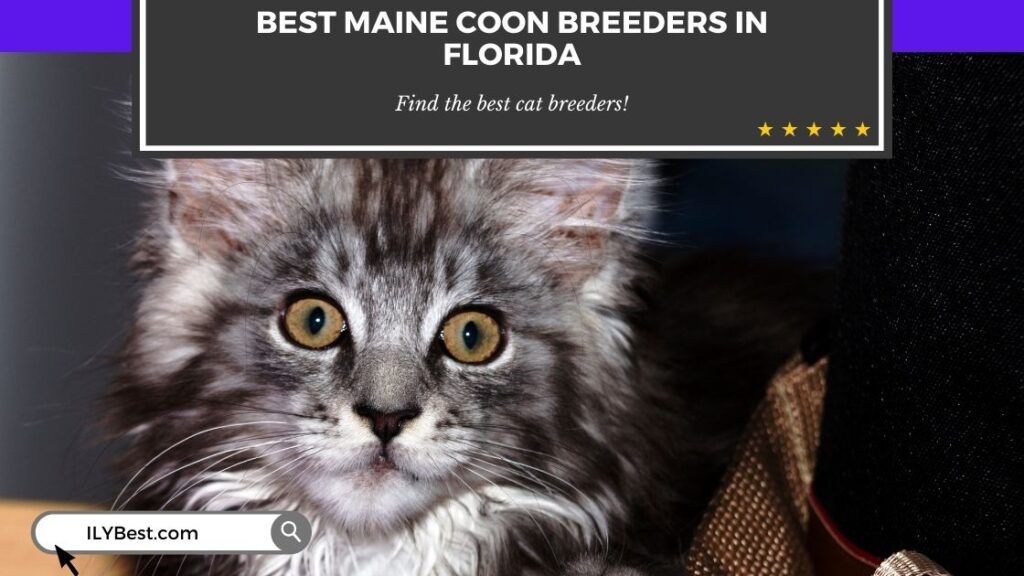 Maine Coon Breeders in Florida (1)