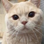Conclusion For British Shorthair Kitten White Guide