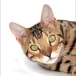 Deluxe Cattery - Bengal Kittens For Sale