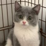 What is a British Shorthair